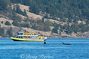 transient orcas or killer whales, Orcinus orca, surface next to a whale-watching boat, San Juan Islands, Washington, United States; Editorial use only; No model releases or property release.