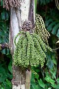 Palm tree, Tropical Gardens of Maui, Iao Valley, Maui, Hawaii