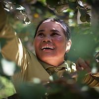 A woman farmer pics fruit on her farm in Cambodia