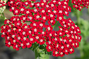Close-up of the bright red flowers of Achillea 'Peggy Sue' growing in West Acre Gardens in Norfolk