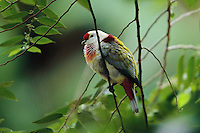 A many-colored fruit dove (Ptilinopus perousii) sitting on a slender tree branch.