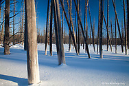 Silica has penetrated these lodgepole pine tree and turned the trunks white in Yellowstone National Park