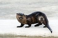 River Otter (Lutra canadensis) foraging in lake in Southcentral Alaska. Spring. Afternoon.
