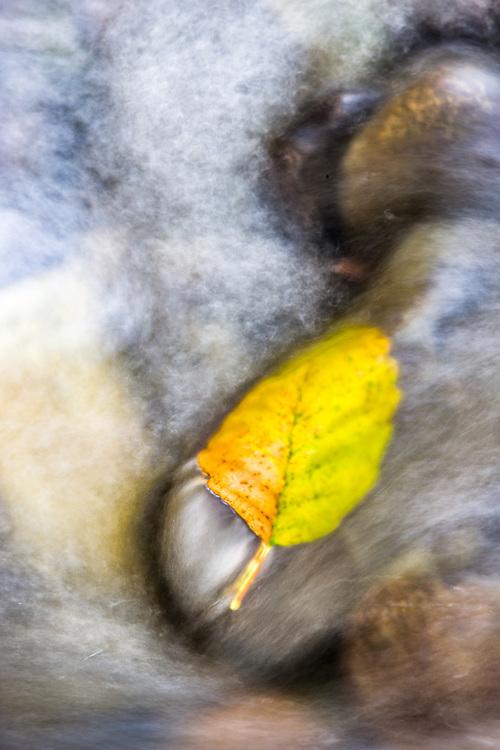 Pacific alder leaf (Alnus rubra), autumn, Ennis Creek, Port Angeles, Washington, USA