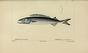 Gempylus from Histoire naturelle des poissons (Natural History of Fish) is a 22-volume treatment of ichthyology published in 1828-1849 by the French savant Georges Cuvier (1769-1832) and his student and successor Achille Valenciennes (1794-1865).