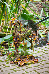 Removing debris, weeds and old leaves from a pond  with a rake and leaving on the side for wildlife to escape