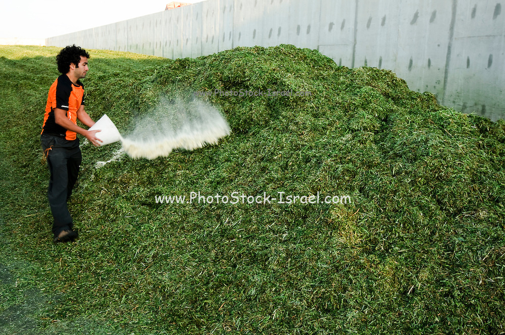Wheat harvested for silage Spreading the harvest in the fermentation silo where it will remain for 3 weeks. Worker adds bacteria to induce and augment fermentation. photographed in Israel, at Kibbutz Maagan Michael
