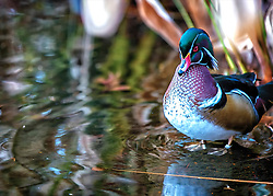 A Vibrant Male Wood Duck Watches Me From Along The Lake Shore