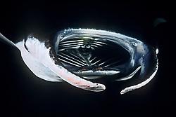 reef manta ray, Mobula alfredi, feeding on plankton at night, Kona Coast, Big Island, Hawaii, USA, Pacific Ocean