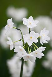 Paperwhite Narcissus 'Inbal'