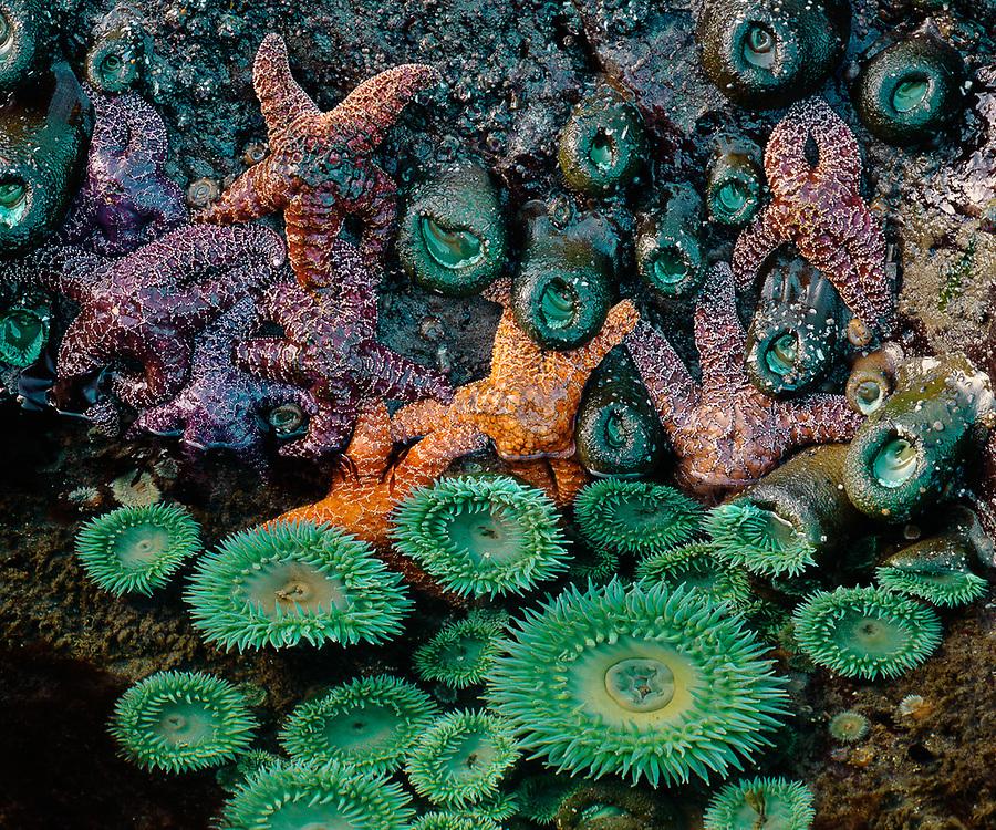 Seastars and urchins, summer, Beach 4 tidepool, Pacific Coast, Olympic National Park, Washington, USA
