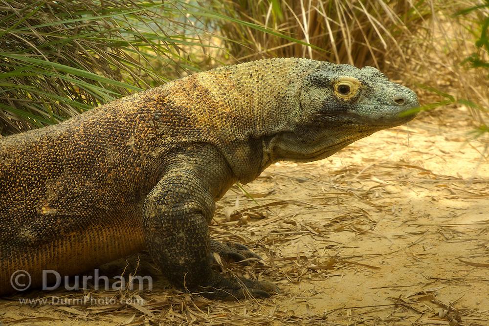 Portrait of the giant Komodo Dragon  (Varanus komodoensis), Florida.
