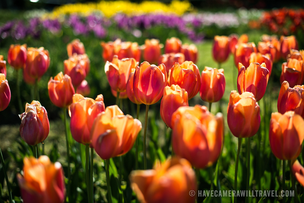 Color tulips in bloom at the base of the Netherlands Carillon next to Arlington National Cemetery and the Iwo Jima Memorial. First donated in 1954, the Carillon was moved to its current location in 1960. It was a gift of the Netherlands to the United States in thanks for US aid during World War II.