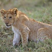 African Lion, (Panthera leo) Portrait of cub. Masai Mara Game Reserve. Kenya. Africa.
