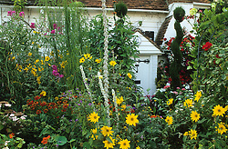 Cottage style front garden packed with colour in summer. Helianthus, helenium, verbascum and topiary spirals