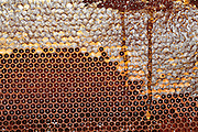 Worker honeybees, (Apis mellifera) fill the hexagonal chambers of a frame with honey made from nectar. The domesticated bee is given a frame with hexagonal foundations, several such frames forming a hive. The chambers are built up from wax secreted by the bee, filled with honey & capped again with wax. (partially capped frame shown). The keeper removes the frames in late summer to prevent the bees feeding on the honey over winter. He replaces it with syrup. Frames similar to these are used as breeding chambers where the queen lays her eggs.