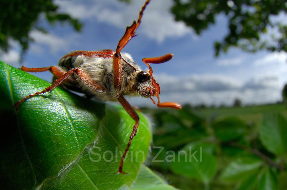 Der Feldmaikäfer (Melolontha melolontha), auch als Gemeiner Maikäfer bekannt, ist eine Art aus der Familie der Blatthornkäfer (Scarabaeidae) | The cockchafer (or may bug, as it is colloquially called, or sometimes billy witch or spang beetle, particularly in East Anglia) is a European beetle of the genus Melolontha, in the family Scarabaeidae.