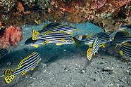 Indian Ocean oriental sweetlips (Plectorhinchus vittatus)