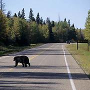 Black Bear, (Ursus americanus) Crossing highway in southern Manitoba. Canada.