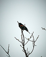Red-winged Blackbird. Sourland Mountain Preserve. Image taken with a Nikon D300 camera and 80-400 mm lens.