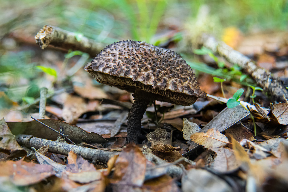 """A perfect specimen of the """"old man of the woods"""" bolete mushroom (Strobilomyces strobilaceus) growing in Goethe State Forest in Central Florida. While edible, many say this native fungus to Europe and North America is delicious, while others say it tastes too much like the forest floor."""
