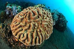 Leptoseris mycetoseroides, Pizza Septenkoralle, Steinkoralle, ridge coral, Bali, Indonesien, Indopazifik, Bali, Indonesia Asien, Indo-Pacific Ocean, Asia