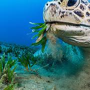 A green sea turtle (Chelonia mydas) feeding on seagrass (halophila stipulacea) off Marsa Alam, Egypt in the Red Sea.