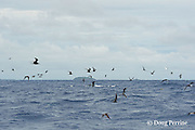 """feeding seabirds, mostly brown noddy terns, Anous stolidus, and white terns, Gygis alba, mark a school of skipjack tuna, Vava'u, Kingdom of Tonga, South Pacific (""""mutton bird"""" at lower center)"""