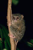 Spectral Tarsier (Tarsius tarsier), (formerly known as Tarsius spectrum).  Endangered Species (IUCN Red List: VU).  Tangkoko National Park, Sulawesi, Indonesia