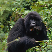 Female Mountain Gorilla using hands to remove thistles in Africa.