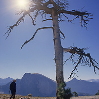A hiker walks past a dead tree on the north rim of Yosemite Valley in California's Yosemite National Park.  Half Dome rises in the background.