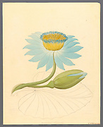 Nymphaea coerulea [Nymphaea nouchali] (1817) from a collection of ' Drawings of plants collected at Cape Town ' by Clemenz Heinrich, Wehdemann, 1762-1835 Collected and drawn in the Cape Colony, South Africa