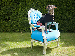 © licensed to London News Pictures. 18/06/2011. London, UK. Mugley the 8 year-old Hairless Khala sits on a throne at  the The Kensington Palace Dashing Dog Show set in the grounds of the Historic Kensington Palace today (18/06/2011). Mugley competed in the 'Prince Charmin' competition. Photo credit should read Ben Cawthra/LNP