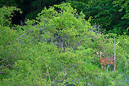 Roe deer buck, Capreolus capreolus, in the Central Apennines rewilding area, Italy, in and around the Abruzzo, Lazio e Molise National Park.