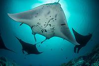 Reef manta ray (Mobula alfredi) aggreagation a species of ray in the family Mobulidae. Dampier Strait, Raja Ampat, West Papua, Indonesia<br /> <br /> DEN NYA MANTAN<br /> <br /> Vid putsarstationen Manta Ridge i Raja Ampat samlas dagligen revmantor, Mobula alfredi, för att få sin skönhetsbehandling. 2009 insåg forskarvärlden att världens jättemantor inte alls bara är en enda art utan i själva verket två: jättemantorna, Mobula birostris, och revmantorna, Mobula alfredi, som på bilden här.<br /> <br /> THE NEW MANTA<br /> At the cleaning station Manta Ridge in Raja Ampat, reef mantas, Mobula alfredi, gather daily to receive their beauty treatment. In 2009, the world's researchers realized that the world's manta rays are not just one species, but in fact two: the giant oceanic manta rays, Mobula birostris, and the reef manta rays, Mobula alfredi, shown in this image.