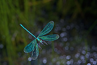 Banded Demoiselles (Calopteryx splendens) in Flight High Speed Photographic Technique, Nikon D800E, Cognisys