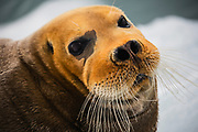 A close-up portrait of the face of a bearded seal (Erignathus barbarous)  ,Svalbard, Norway