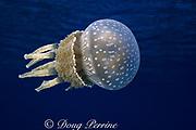 Papuan jellyfish or sea jelly, Mastigias papua, Bikini Atoll, Marshall Islands, Micronesia ( Central Pacific Ocean )