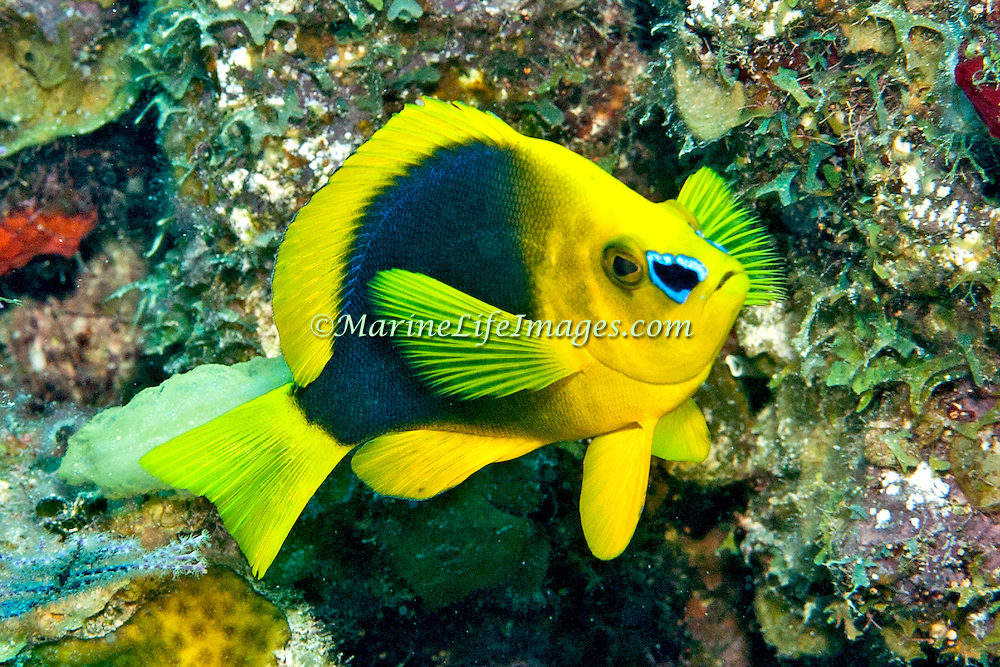 Shy Hamlet inhabit reefs in Tropical West Atlantic; picture taken Grand Turk.