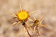 Clustered Carline Thistle (Carlina curetum Syn. Carlina corymbosa)