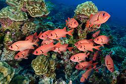 Großschuppen Soldatenfisch (Myripristis berndti), Mehrere Fische im Korallenriff, Insel Cocos, Costa Rica, Pazifik, Pazifischer Ozean, / Blotcheye soldierfish (Myripristis berndti) Fishes in Coralreef, Cocos Island, Costa Rica, Pacific Ocean