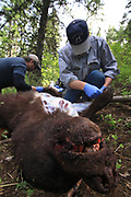 White Dog (right) and Scott Denny, field dressing Keith Crowley's chocolate phase boar, tagged while black bear hunting with hounds in Idaho.