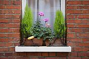 Banana in a window box in London, England, United Kingdom.