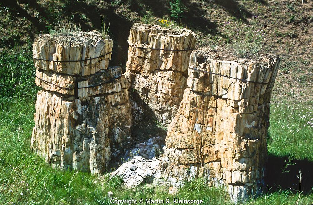 The Trio, three petrified sequoia stumps, Sequoa affins, Florissant Fossil  Beds National Monument, Colorado.