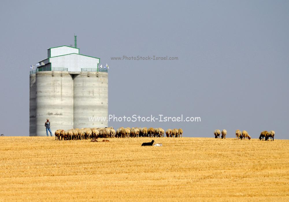 Israel, Negev desert, Bedouin shepherd and his herd sheep