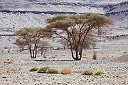 Sahara acacia trees (Acacia raddiana) in the Sahara desert with clear blue sky.