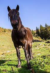 THEMENBILD - ein Noriker auf einer Almwiese aufgenommen am 16. September 2018 in Saalbach Hinterglemm, Österreich // a Noriker on an alpine meadow, Saalbach Hinterglemm, Austria on 2018/09/16. EXPA Pictures © 2018, PhotoCredit: EXPA/ Stefanie Oberhauser