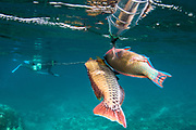 Spearfishing<br /> Gilli Meno Island<br /> Lesser Sunda Islands<br /> Indonesia<br /> Protected area