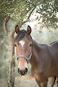 Close up portrait of brown horse standing under deciduous tree and looking at camera, Lesbos, Greece