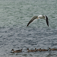 A kelp gull soars over a family of Crested Ducks near New Island, in Britain's Falkland Islands.